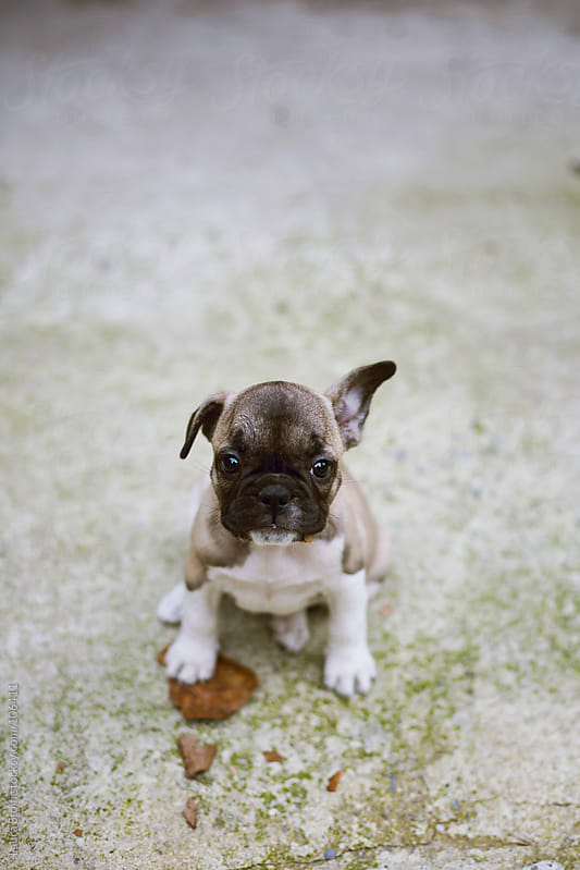 French Bulldog puppy dog playing with dried leaf and looking straight at the camera  by Laura Stolfi for Stocksy United