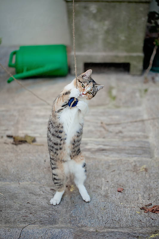 Tabby cat stands on her feet while playing wiyh a toy in garden by Laura Stolfi for Stocksy United