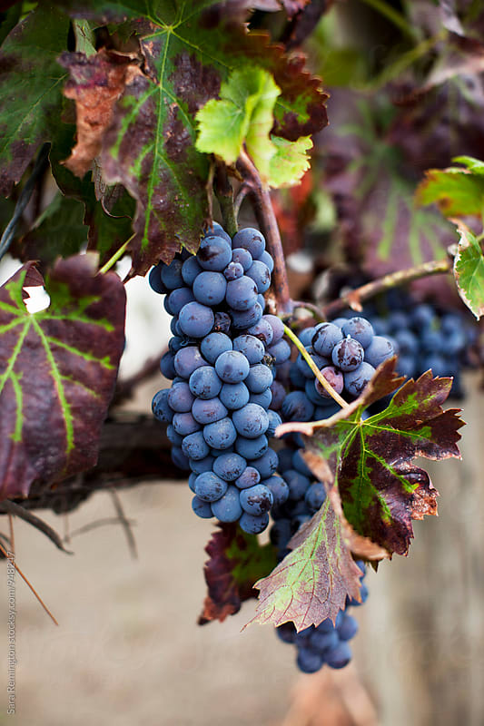 Purple Grapes on Vine by Sara Remington for Stocksy United