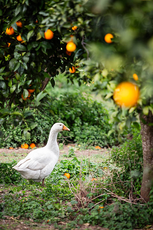 Duck in an Orange Grove by Helen Sotiriadis for Stocksy United