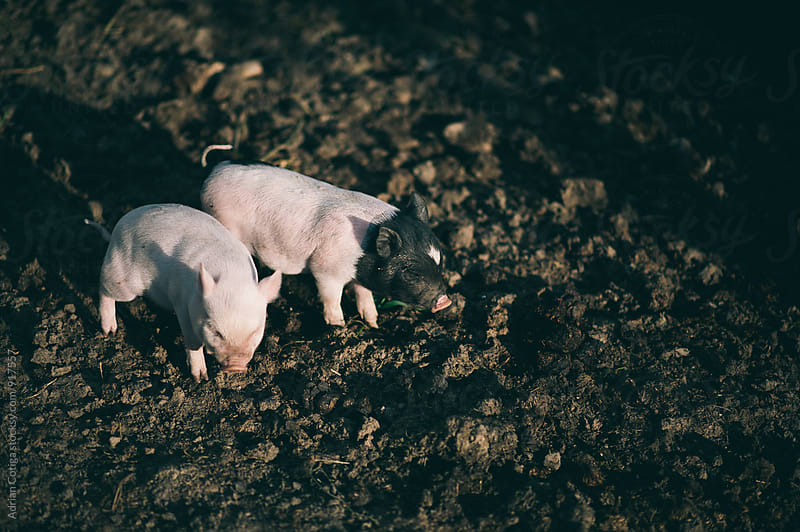Two Pigs by Adrian Cotiga for Stocksy United