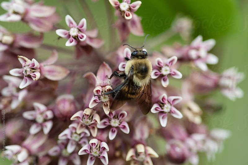 Macro of bumblebee on milkweed flowers by Kerry Murphy for Stocksy United