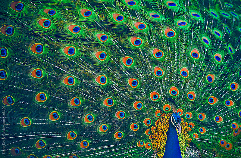 Peafowl by Sasha Evory for Stocksy United