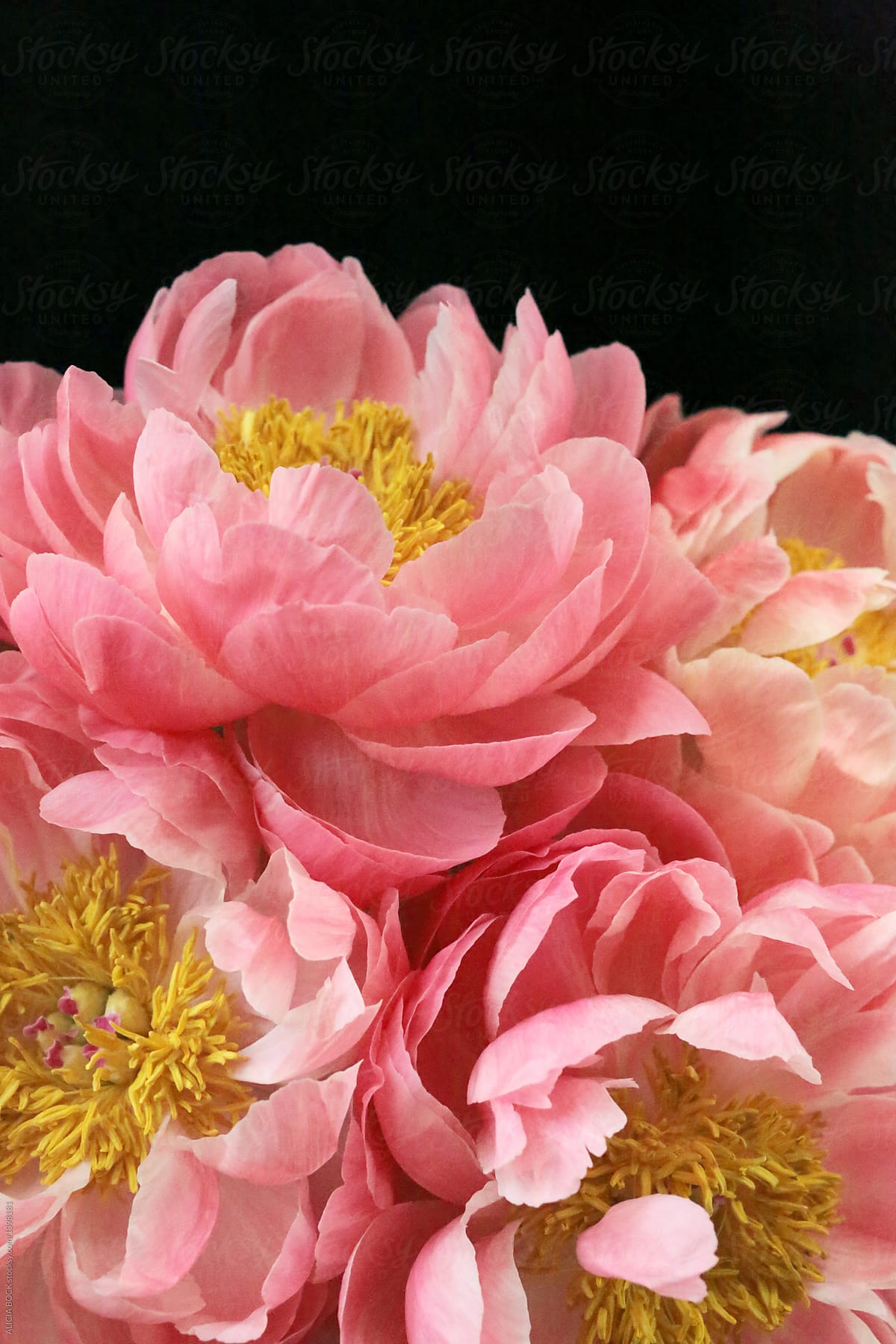 Stunning Pink Peony Flowers Against A Black Background Stocksy United