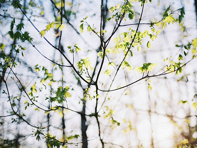Leaf buds on trees in the spring by Meghan Boyer for Stocksy United