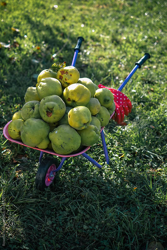 Organic Quinces Just Harvested by Rowena Naylor for Stocksy United