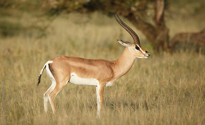 Grant's gazelle by Paul Tessier for Stocksy United