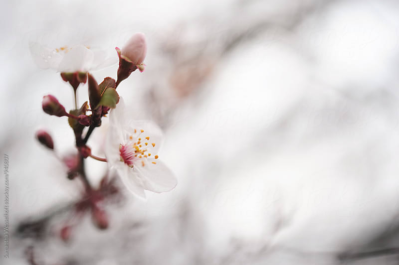 spring plum blossom by Samantha Wesselhoft for Stocksy United
