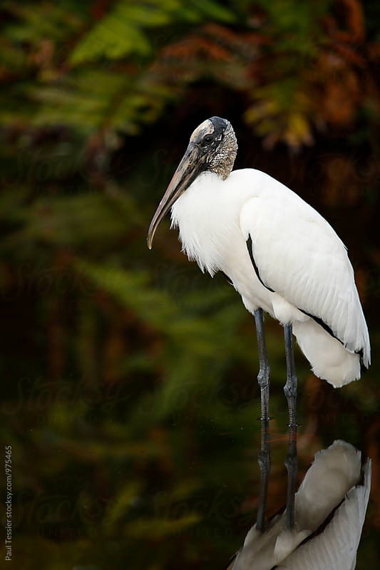 Wood Stork by Paul Tessier for Stocksy United