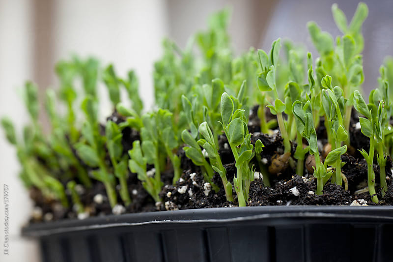 Grow Your Own Pea Sprouts by Jill Chen for Stocksy United