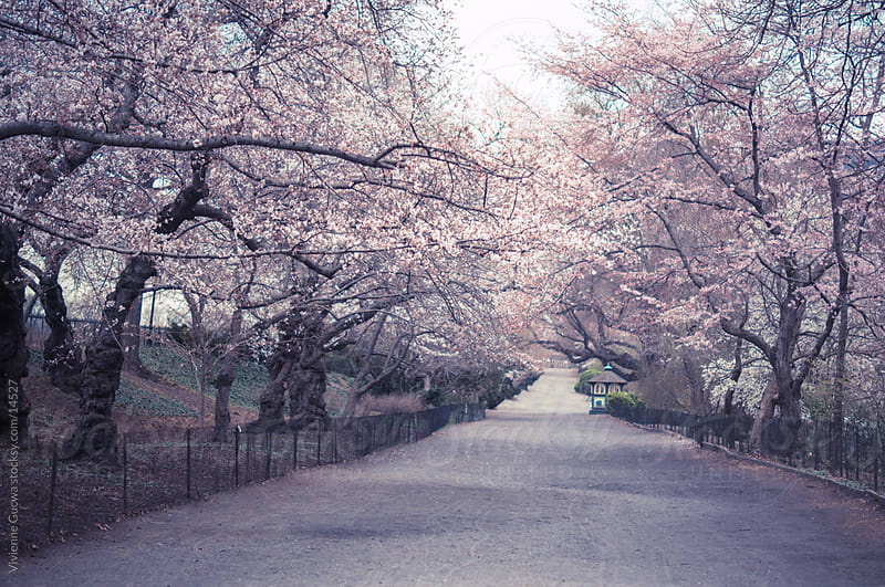 Cherry Blossoms - Central Park by Vivienne Gucwa for Stocksy United