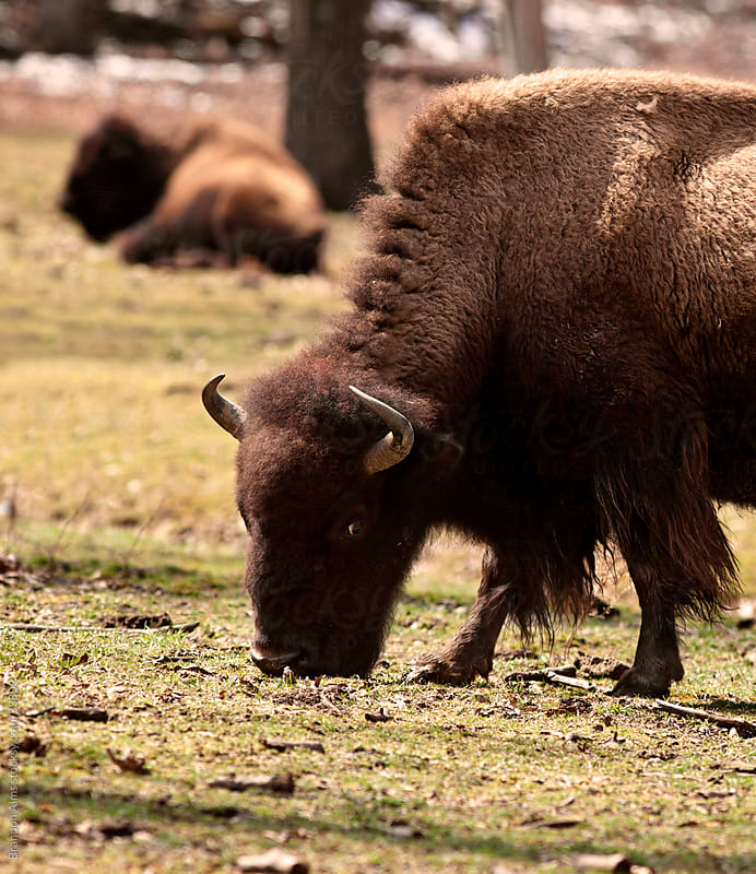 American Bison Closeup in the Wilderness by Brandon Alms for Stocksy United