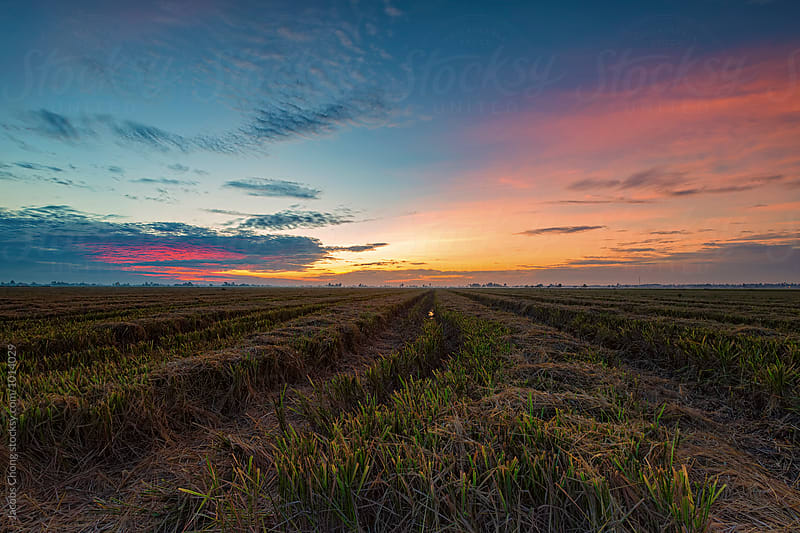 Dusk color at paddy field by Jacobs Chong for Stocksy United