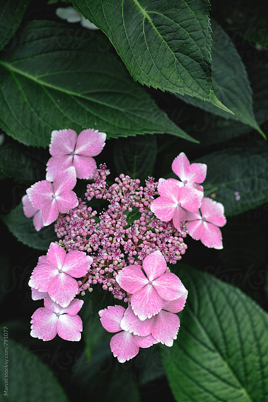 Pink hydrangea flower on a bush by Marcel for Stocksy United