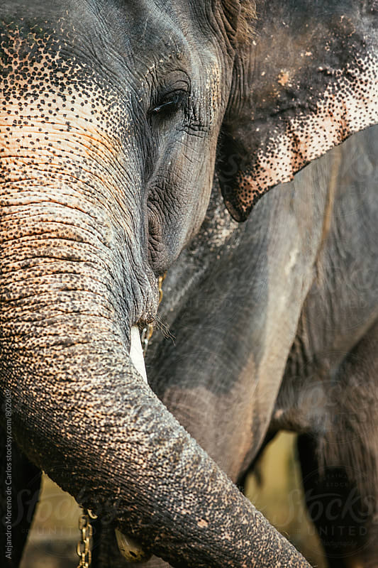 Closeup of half the head and trunk of an elephant by Alejandro Moreno de Carlos for Stocksy United