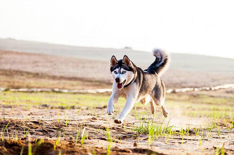 Siberian Husky Running in Field by Eldad Carin for Stocksy United