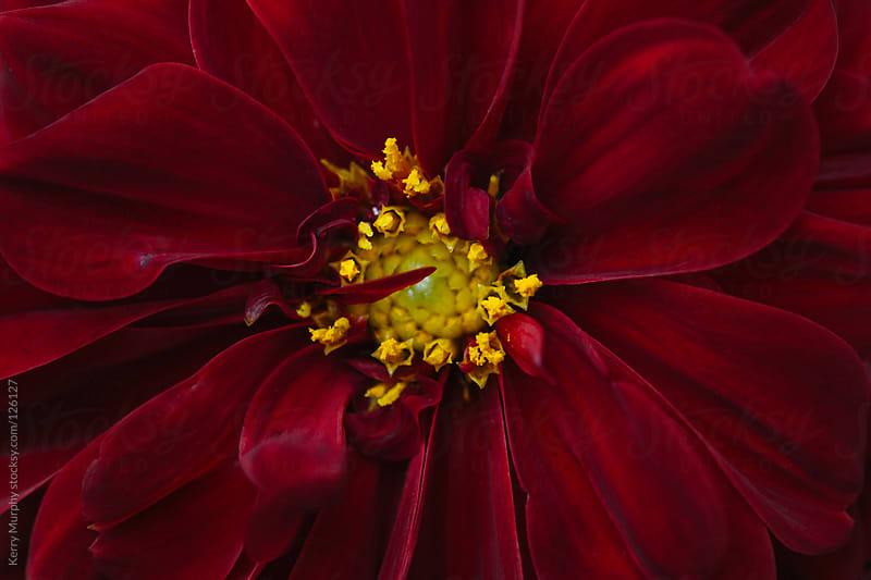 Macro of deep red dahlia flower by Kerry Murphy for Stocksy United