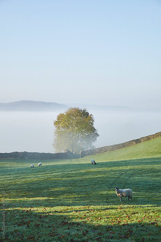 Sheep and fog in the valley at sunrise. Troutbeck, Cumbria, UK. by Liam Grant for Stocksy United