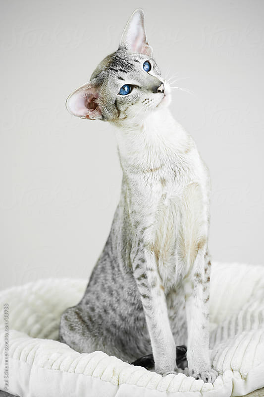 Friedrich The Siamese Cat by Paul Schlemmer for Stocksy United