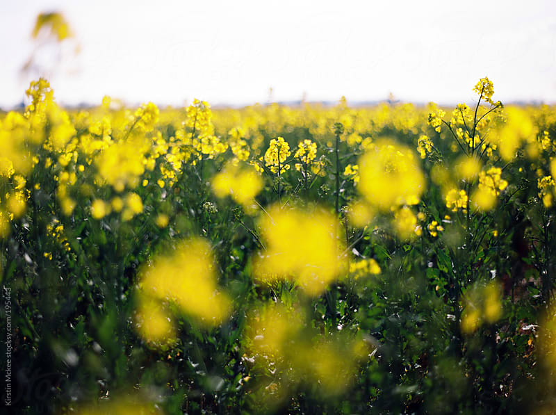 Field of rapeseed  by Kirstin Mckee for Stocksy United