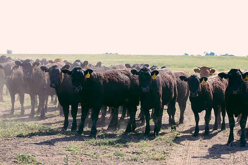 Livestock Americana Herd of Cattle by Jani Bryson for Stocksy United
