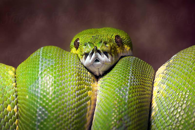Green Tree Python by Brandon Alms for Stocksy United