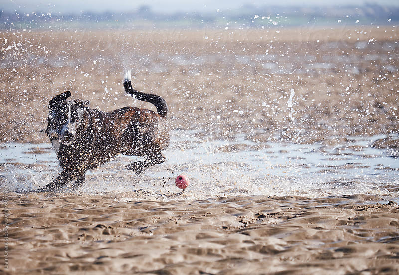 Dog running after it's ball on the beach. Wales, UK. by Liam Grant for Stocksy United