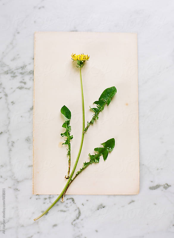 Arranged dandelion on paper by Ali Harper for Stocksy United