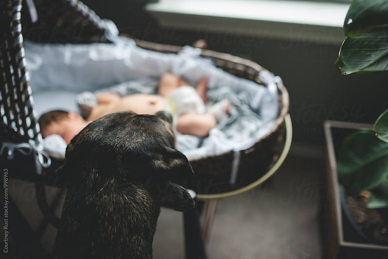 Dog inspecting new arrival in moses basket by Courtney Rust for Stocksy United