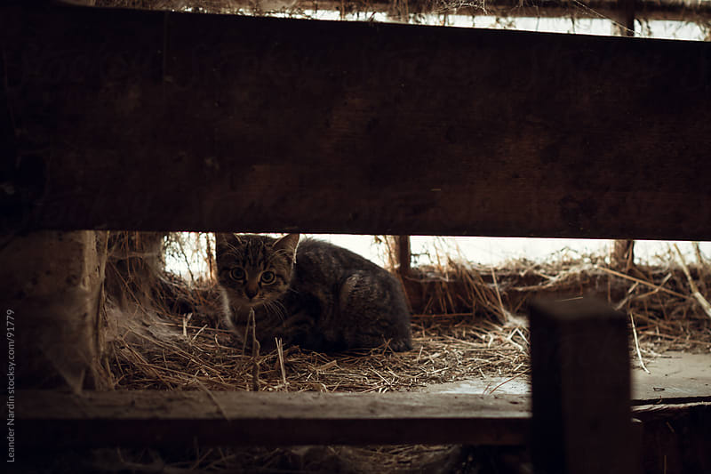 baby cat in a cowshed by Leander Nardin for Stocksy United