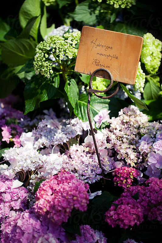 Flowered Hydrangea border with wooden sign amongst flowers by Laura Stolfi for Stocksy United