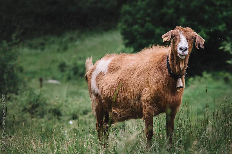 Brown Goat  by Borislav Zhuykov for Stocksy United
