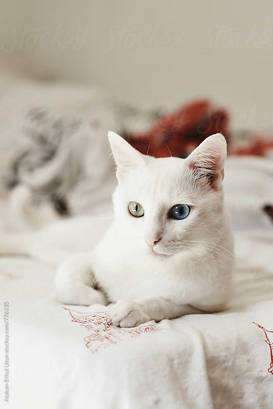 calm white cat by Atakan-Erkut Uzun for Stocksy United