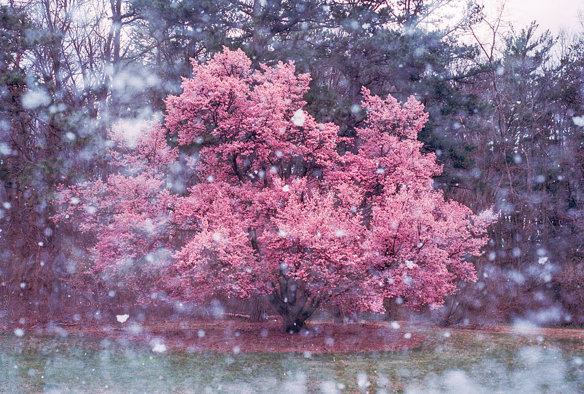 Pink Plum Blossom Tree In Bloom During A Heavy Snow Storm Stocksy