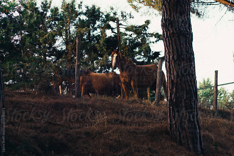 Horses in the mediterranean brush in Tuscany by Laura Stolfi for Stocksy United
