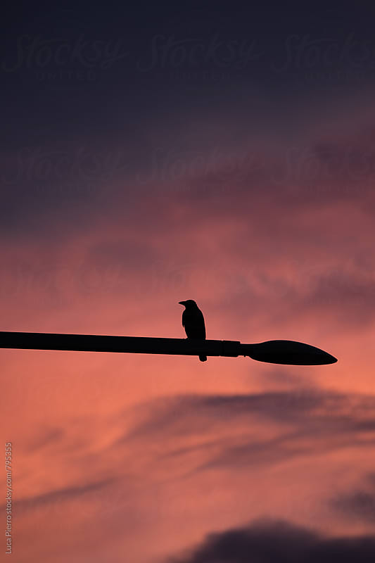 Crow silhouette against a sunset by Luca Pierro for Stocksy United
