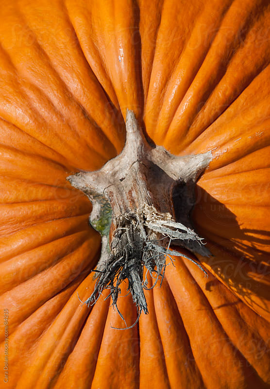 Close-up of the stem of a pumpkin by Cara Dolan for Stocksy United