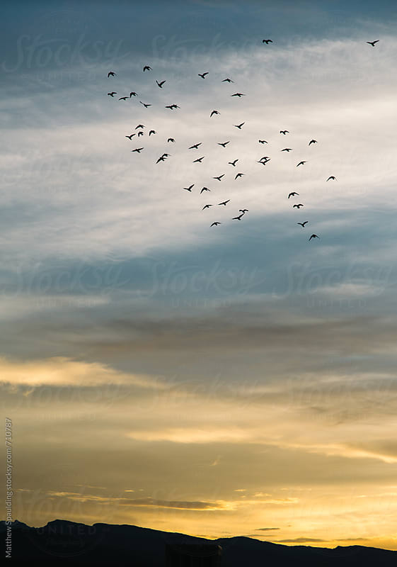 Flock of birds in flight during sunset by Matthew Spaulding for Stocksy United