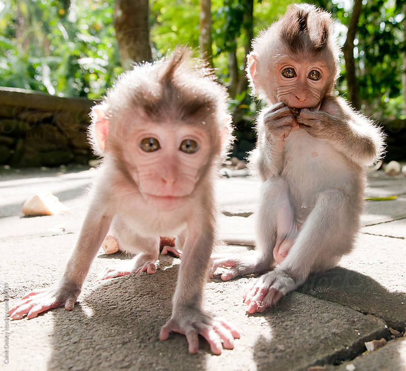 Inquisitive Young Monkeys in Ubud, Bali by Caine Delacy for Stocksy United
