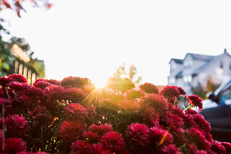 The sun shines on red chrysanthemums  in fall. by Holly Clark for Stocksy United