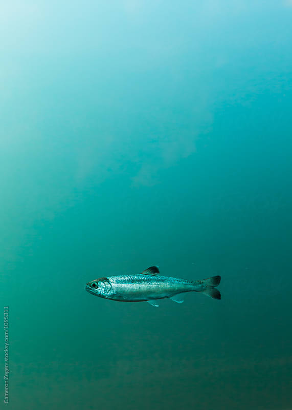 juvenile salmon in fish ladder by Cameron Zegers for Stocksy United