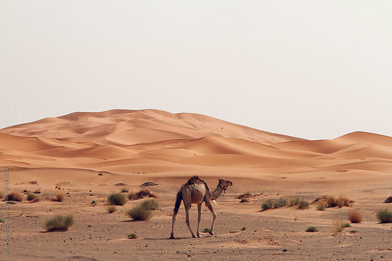 Camel walking into the Sahara Desert in North Africa by Jordi Rulló for Stocksy United