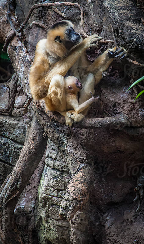Gibbon mother and newborn by ALAN SHAPIRO for Stocksy United