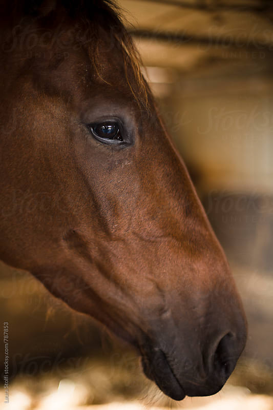 Side view of handsome brown horse by Laura Stolfi for Stocksy United