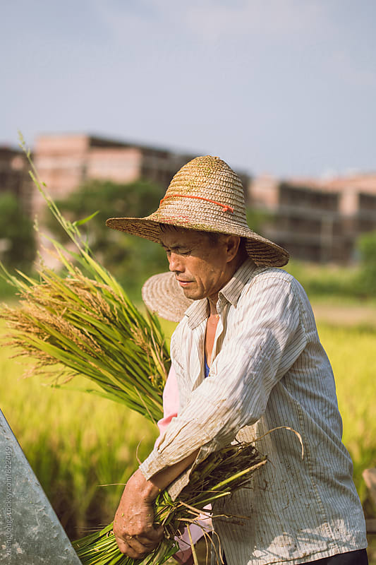Farmers are harvesting rice by zheng long for Stocksy United
