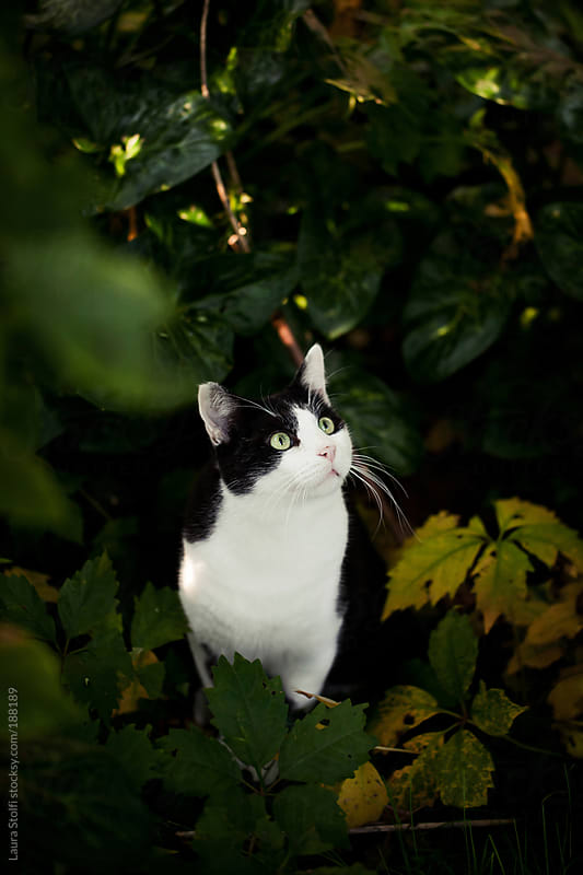 Cat with long whisker stands amongst leaves and looks at something by Laura Stolfi for Stocksy United