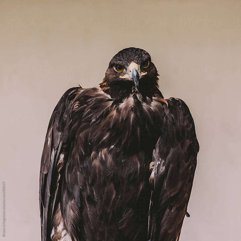 Buteo jamaicensis, Red-tailed hawk by Bruce Livingstone for Stocksy United