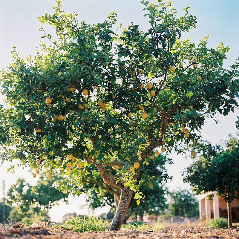 Lemon Tree by Andrew Spencer for Stocksy United