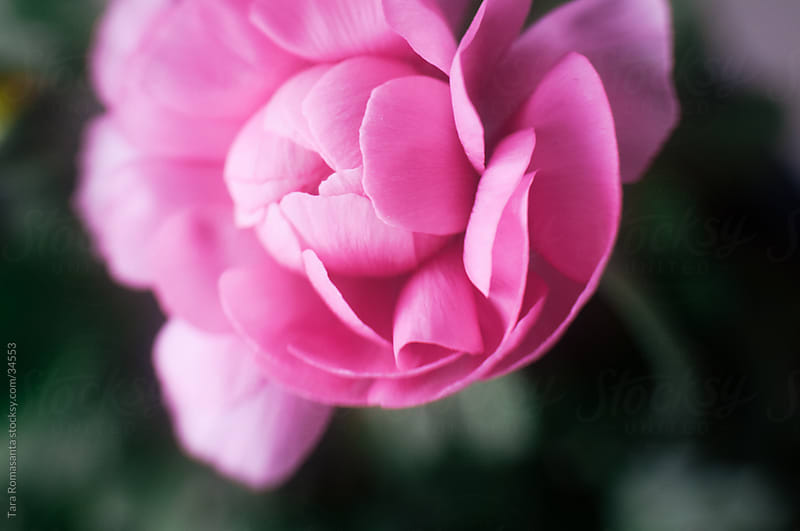 birds eye view of single pink ranunculus flower by Tara Romasanta for Stocksy United