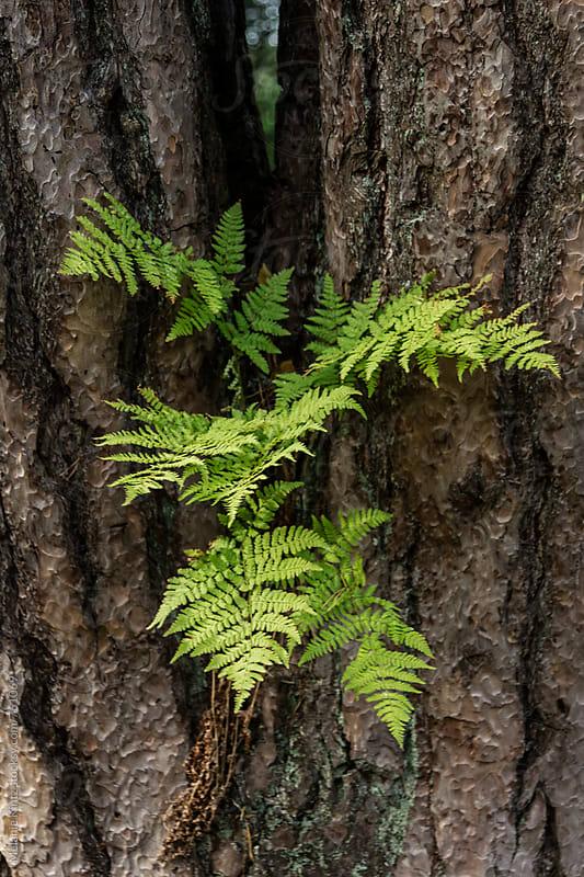 Fern growing on a tree trunk by Melanie Kintz for Stocksy United